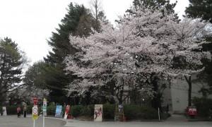 20130325_ut_seimon_sakura